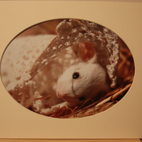 Baby Acorn- mouse oval mounted print to fit 10 x 8 frame