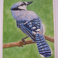 Blue Jay Original Watercolour & Coloured Pencil Painting Wildlife Fine Art Bird