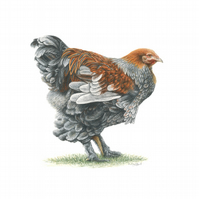 Fancy Chicken Fine Art Print