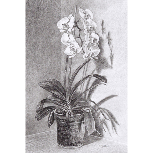 White Orchid Flower - Original Pencil Drawing