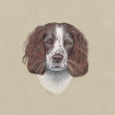 Springer Spaniel Dog Fine Art Print