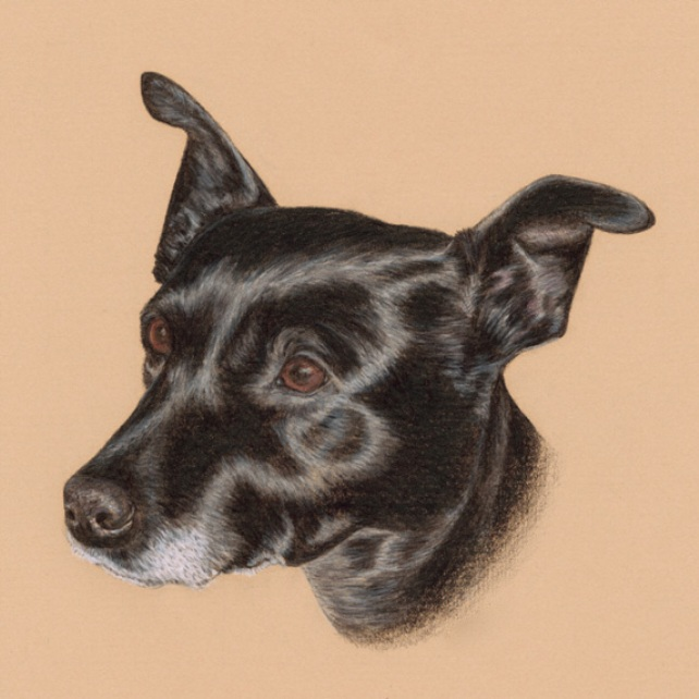Little Black Dog Coloured Pencil Drawing