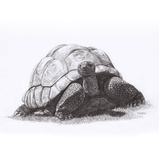 Giant Tortoise Original Pencil Drawing