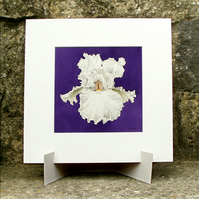 White Iris Flower - Original Watercolour Painting