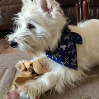 Dog Bandana, Mock Tie, Slide Over Collar, Blue Westie & Scottie Print