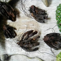Lucky Hand Root - Hoodoo folk traditions witchcraft lucky roots wicca pagan