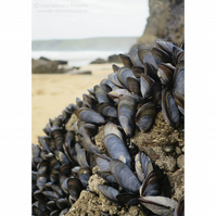Mussels Print