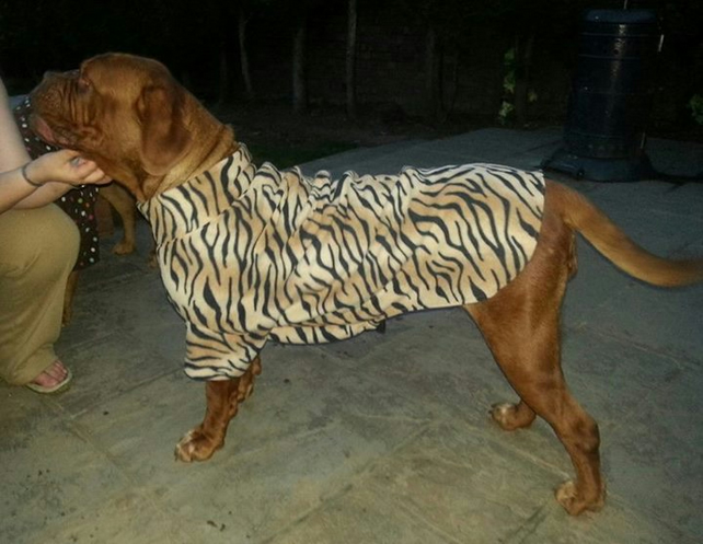 Dog sweater (onesie) XXXL size bespokes suitable for dogue de bordeaux
