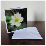 Primrose in bloom.  Blank photographic card.