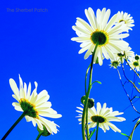 Daisies.  A bee's eye view.  8 inches x 8 inches.  (20cm x20cm)  Photography.