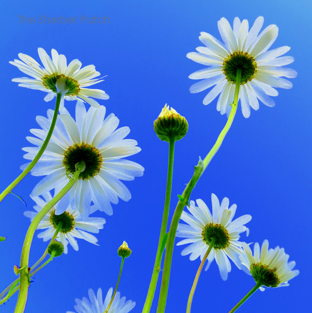 Daisies, a bee's eye view.  An 8 inches x 8 inches photograph.  20cm x 20cm.