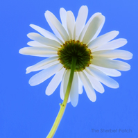 Daisy, a bee's eye view.  A 20cm x 20cm photograph.  8 inches x 8 inches.