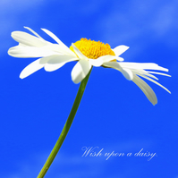 Wiish upon a daisy.  A photographic card left blank for your own message.