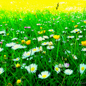 Meadow of daisies, a bee's eye view.  A card left blank for your own message.