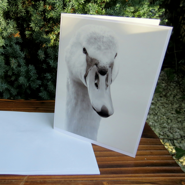 The swan.. A card featuring an original photograph. Blank for your own message.