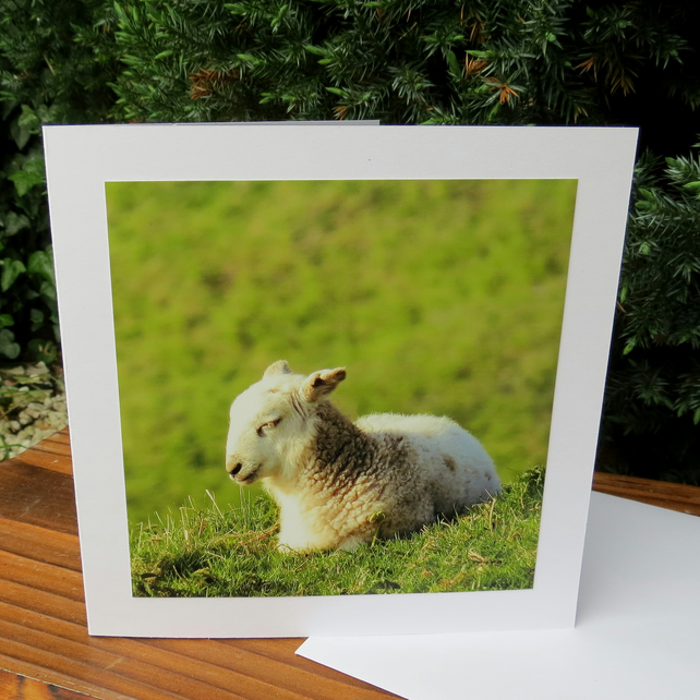Sheep.  A card featuring an original photograph.  Blank inside.
