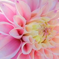 Dahlia.  A card featuring an original photograph.  Blank inside.