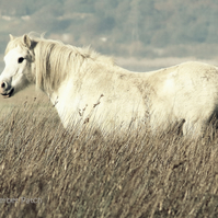 Wild pony.  A card featuring an original photograph.  Blank inside.