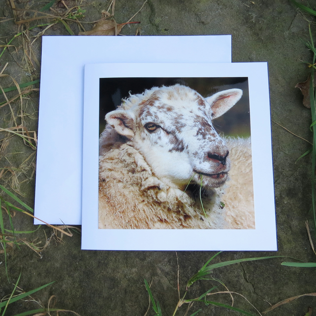 Sheep.  A card featuring an original photograph.  Blank for your own message.