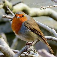 The charismatic robin.  A card featuring an original photograph.  Blank inside.