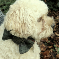 A dog bow tie, made from a tartan wool.  Dog neckwear.