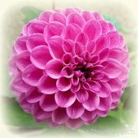 Dahlia.  A card featuring an original photograph.  Blank inside.  Notelet.