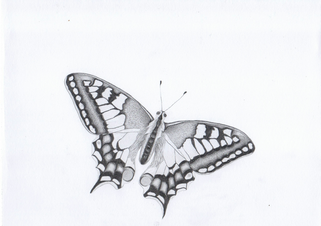 Swallowtail butterfly graphite pencil drawingsketch print