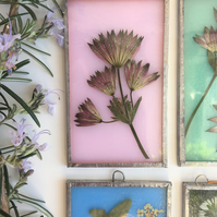 Pink Stained Glass Astrantia Majorwort Panel
