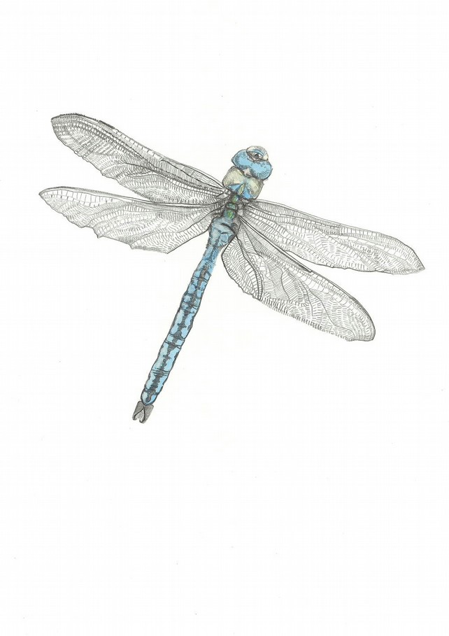 A5 Print - The Emperor - Dragonfly drawing