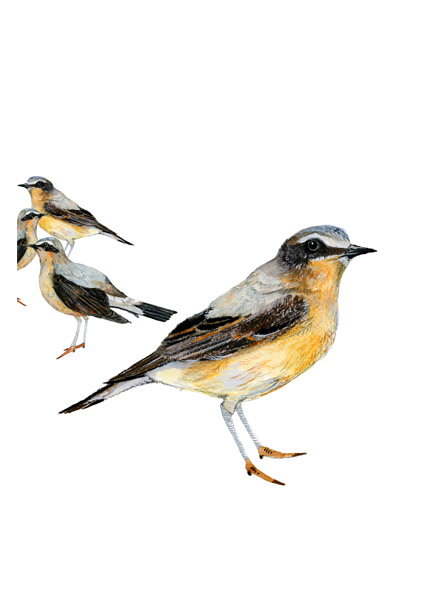 Bird group print Wheatear Birds illustration Giclee A4 print