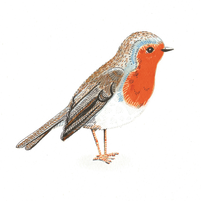 British garden bird watercolour illustration.  Robin painting.
