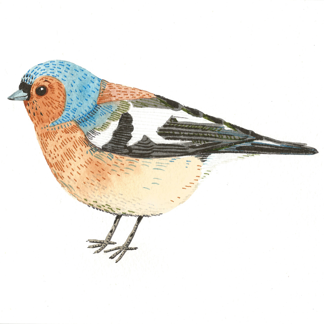 British garden bird watercolour illustration.  Chaffinch painting.