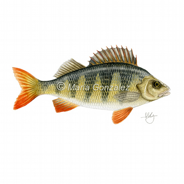 Perch watercolour signed print