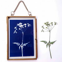 Cow Parsley Cyanotype No. 1 in gold edged frame