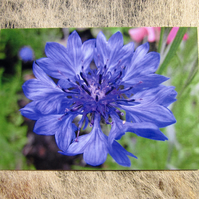 Bright Blue Cornflower Greetings Card