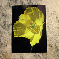 Beautiful Yellow Welsh Poppy Flower Greetings Card