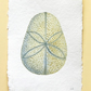 Sand dollar urchin test shell original watercolour painting illustration study