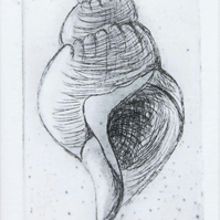 Original etching of a whelk seashell no. 2 of 65 in a limited edition