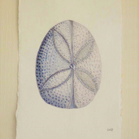 Original watercolour study of a sand dollar urchin from the coastal series