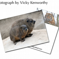 Rock Hyrax ACEO Print Photography by VK