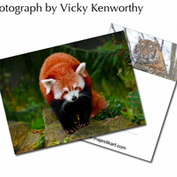Red Panda ACEO Print Photography by VK