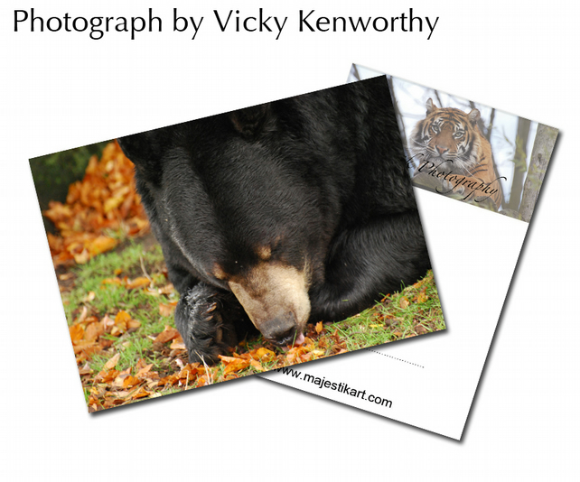 Bear ACEO Print Photography by VK