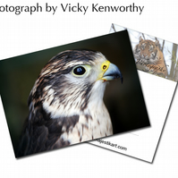 Falcon ACEO Print Photography by VK