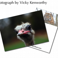 Ostrich ACEO Print Photography by VK