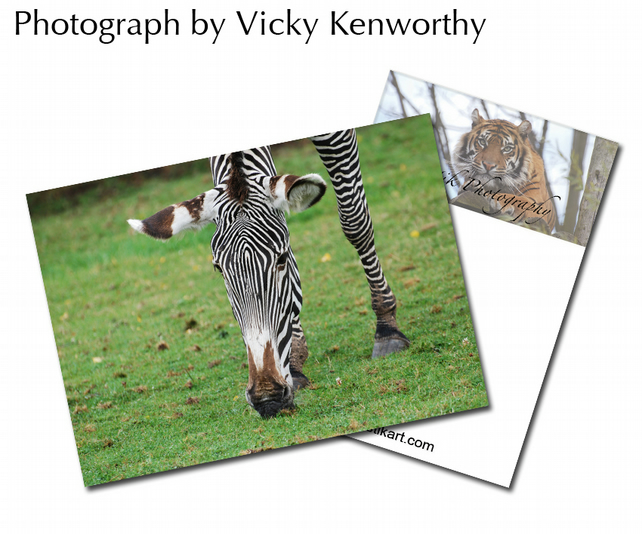 Zebra ACEO Print Photography by VK