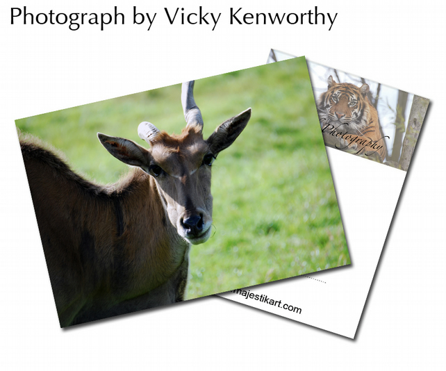 Blackbuck ACEO Print Photography by VK