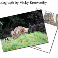 Cheetah ACEO Print Photography by VK