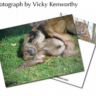 Baboon ACEO Print Photography by VK
