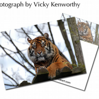 Tiger ACEO Print Photography by VK