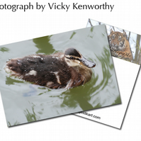 Duckling ACEO Print Photography by VK